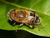 Syrphidae - Palpada sp.