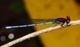 Honduras Zygoptera (damselflies)