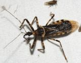 Mucrolicter alienus