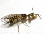 Mantidfly - Mantispidae
