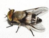 Tabanidae - Leucotabanus cf. exaestuans
