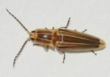 Semiotus ligneus