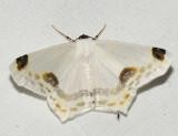 Sericoptera sp.