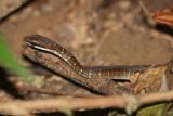 Dryad Snake - Mastigodryas melanolomus (immature)