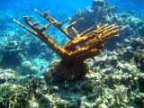 Elkhorn Coral - Acropora palmata
