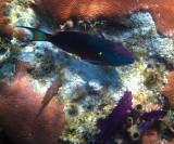 Stoplight Parrotfish - Sparisoma viride
