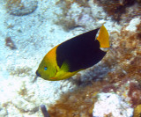 Rock Beauty - Holacanthus tricolor