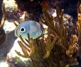 Foureye Butterflyfish - Chaetodon capistratus