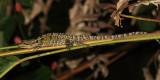 Striped Basilisk Lizard - Basiliscus vittatus (female)
