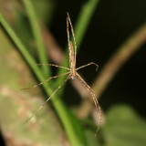 Deinopidae - Ogrefaced spider