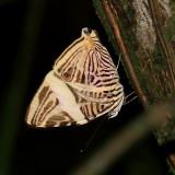 Small Beauty - Colobura dirce