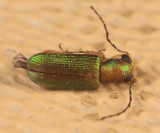 Megascelis sp.