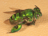 Euglossa sp. (male)