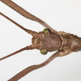 Stick Insect - Phasmida
