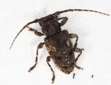 Psapharochrus circumflexus