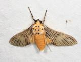 Phaeomolis lineatus