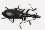 Honduras Carabidae (ground beetles)