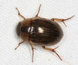 Hydrophilidae - Tropisternus collaris