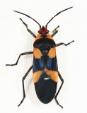 Lygaeidae - Oncopeltus sp.