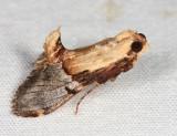 Elegant Cacozelia - Cacozelia elegans