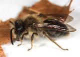 Andrena carlini
