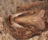 9525 - Cattail Borer - Bellura obliqua