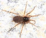 Neoantistea magna (female)