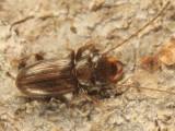 Charaphloeus convexulus (male)