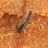Orthocladiinae