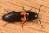Click Beetles - Subfamily Elaterinae