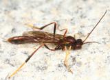Erigorgus sp.