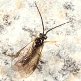 Neopareophora litura
