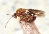 Disholcaspis quercusglobulus?