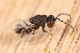 (Disholcaspis quercusglobulus parasite)