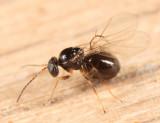 White Oak Club Gall Wasp - Callirhytis clavula