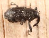 Pseudobaris nigrina