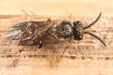 Apareophora dyari