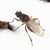 Ischiolepta sp.