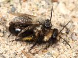 Andrena carlini (mating pair)