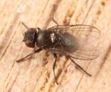 Leaf miner fly