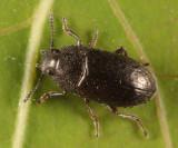Blapstinus metallicus