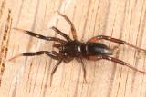 Drassyllus depressus (immature male)