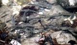 Mummichog - Fundulus heteroclitus (dark spot on dorsal fin) & Banded Killifish - Fundulus diaphanus