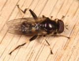 Chalcosyrphus sp.