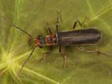 Dichelotarsus cinctipennis
