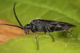 Dolerus unicolor (male)