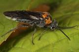 Dolerus unicolor (female)