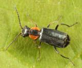 Nodopus flavilabris