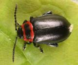 Vians Flea Beetle - Kuschelina vians