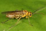 Aglaostigma quattuordecimpunctatum